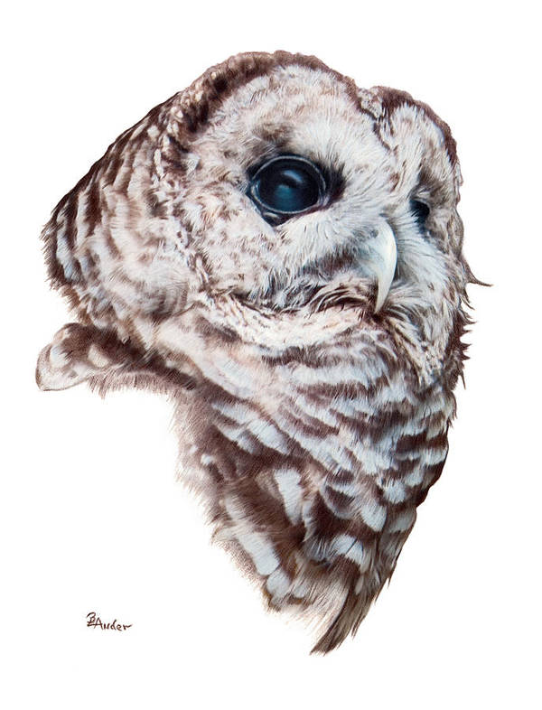 Barred Owl Art Print featuring the drawing Barred Owl by Brent Ander