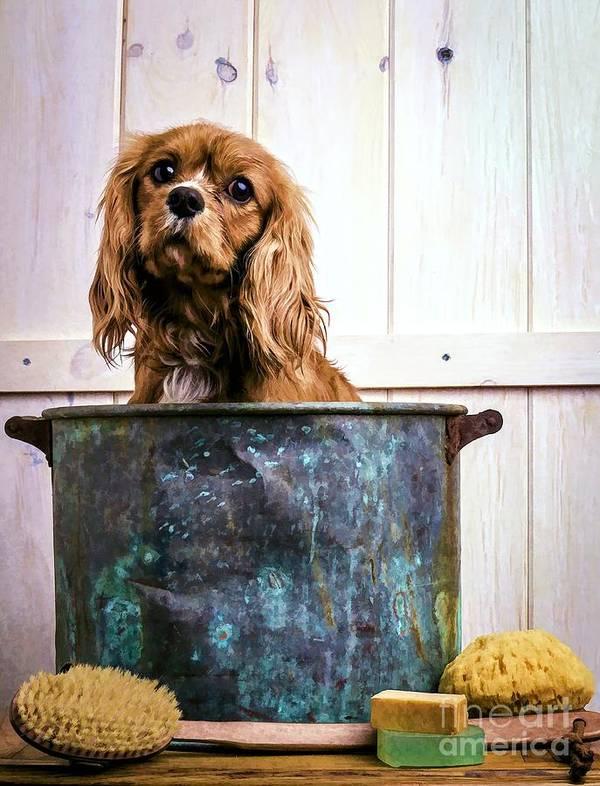 Max Dog King Charles Spaniel Pet Bath Time Sad Pet Cute Puppy Art Print featuring the photograph Bath Time - King Charles Spaniel by Edward Fielding