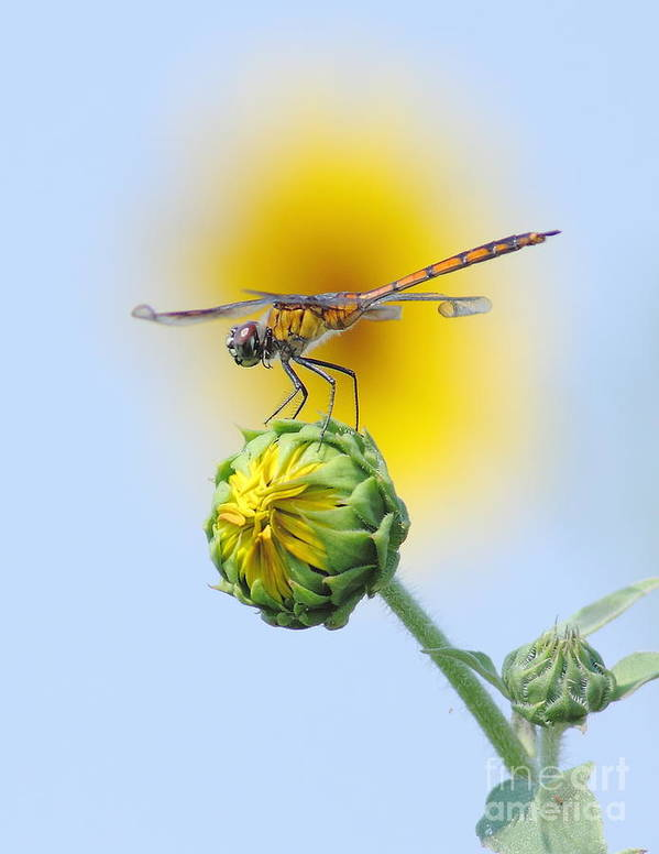 Nature Art Print featuring the photograph Dragonfly In Sunflowers by Robert Frederick