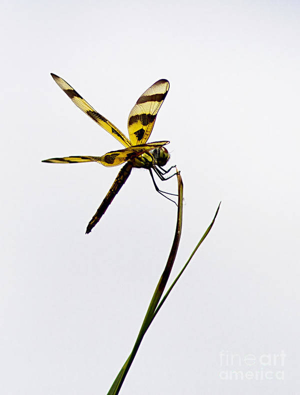 Dragon Fly Art Print featuring the photograph Holding On by Anne Rodkin