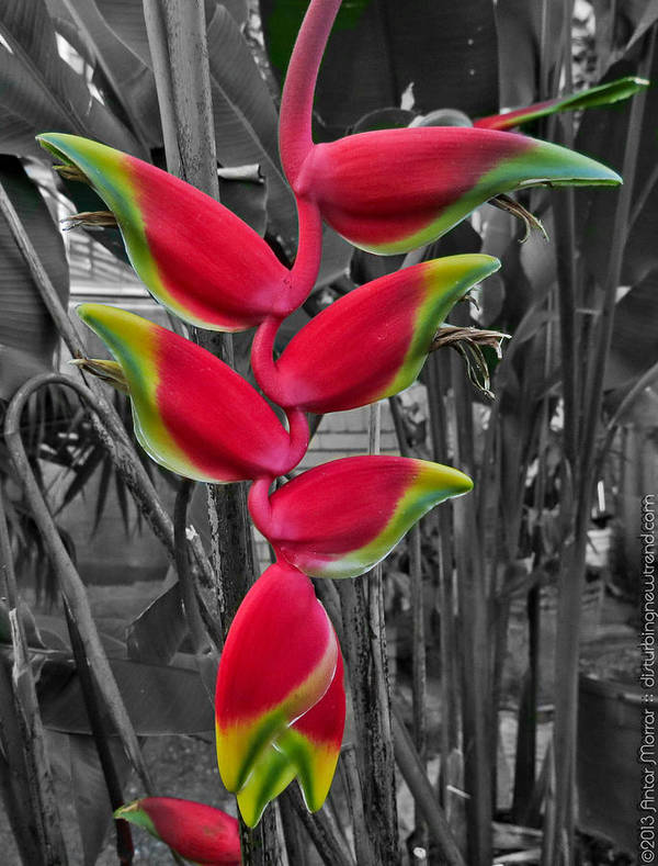Heliconia Art Print featuring the photograph Last Fruit Of Eden by Antar Morrar