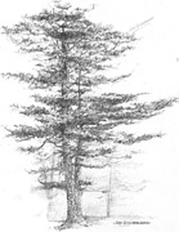 maine eastern white pine art print by jim hubbard