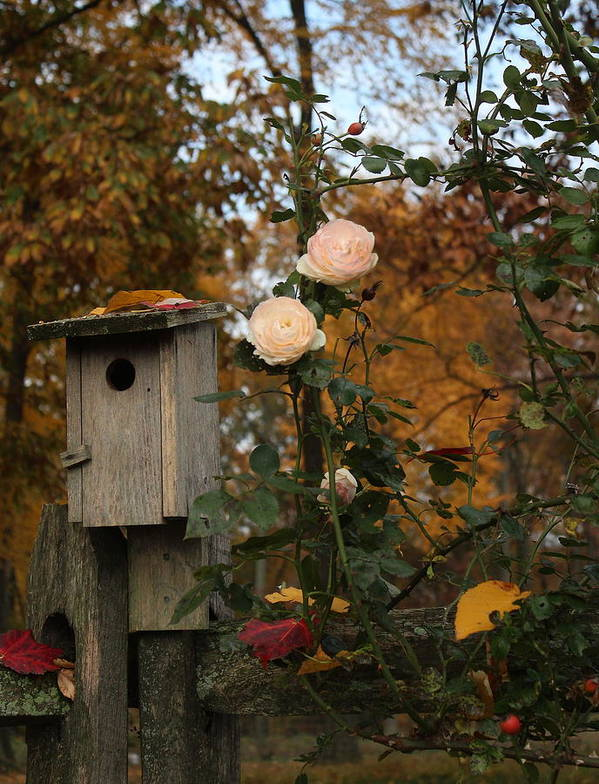 Roses Art Print featuring the photograph Roses Of Fall by David Jones