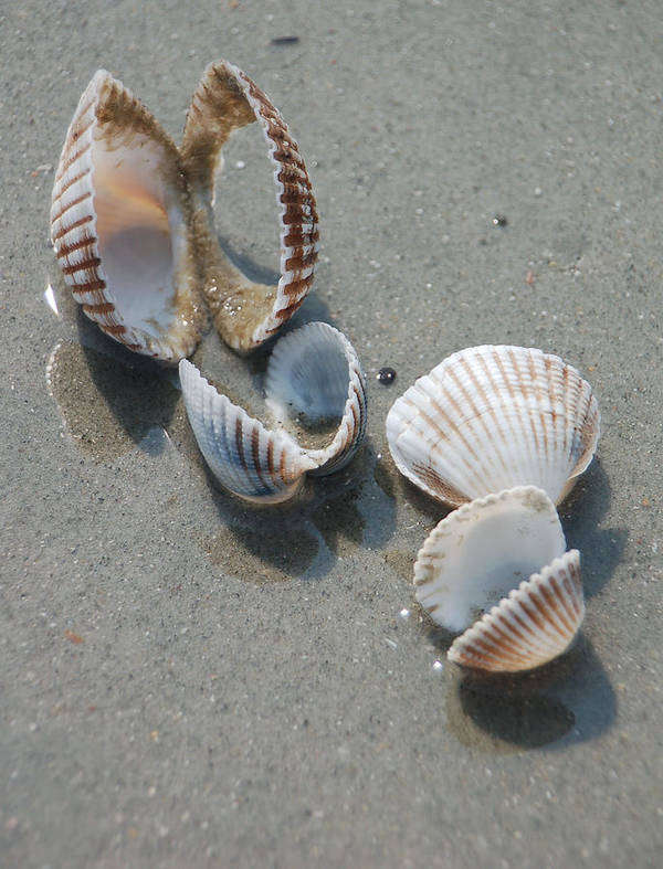 Sea Shell Art Print featuring the photograph She Sells Sea Shells by Suzanne Gaff