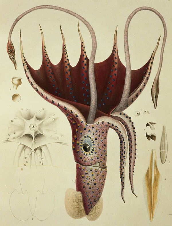 Cranchia Print featuring the painting Squid by A Chazal