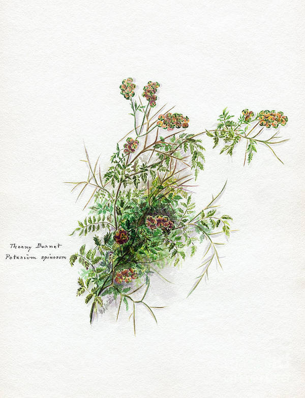 Flower Art Print featuring the photograph Thorny Burnet C1950 by Granger