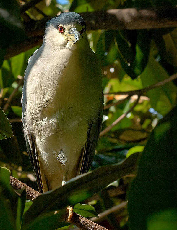 Birds Art Print featuring the photograph Blackcrowned Night Heron by Jean Noren