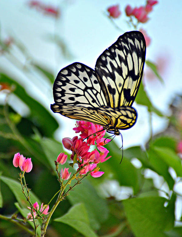 Butterfly Art Print featuring the photograph Butterfly Glow by Marty Koch