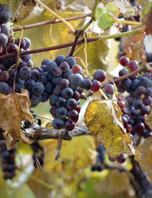 Grapes Art Print featuring the photograph The Vineyard by Linda Mishler
