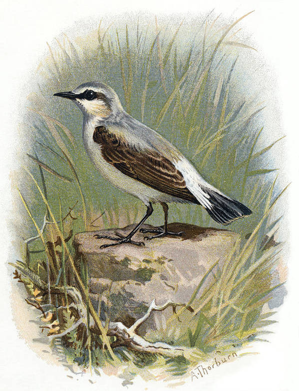 Wheatear Art Print featuring the photograph Wheatear, Historical Artwork by Sheila Terry