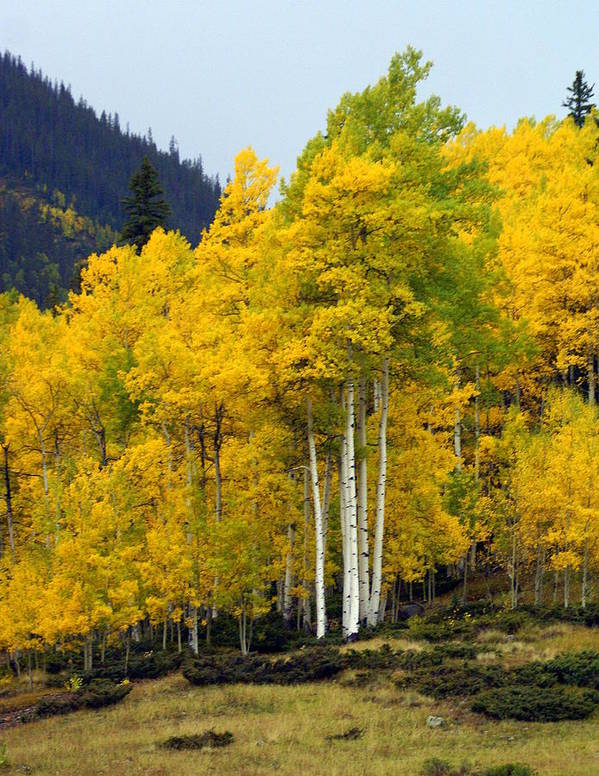 Fall Colors Print featuring the photograph Aspen Fall 3 by Marty Koch