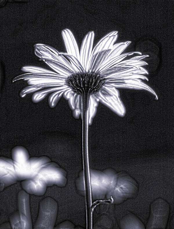 Black & White Art Print featuring the photograph Daisy by Tony Cordoza