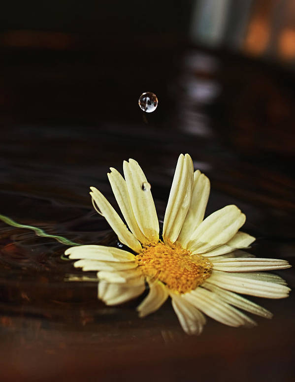 Beautiful Art Print featuring the photograph Daisy With Water Droplet by Jim DeLillo
