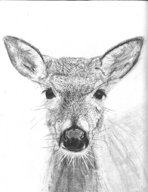 Deer Art Print featuring the drawing Female White-tailed Deer by Marqueta Graham