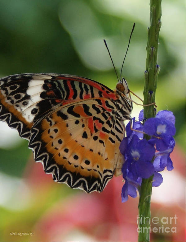 Butterfly Art Print featuring the photograph Hanging On by Shelley Jones
