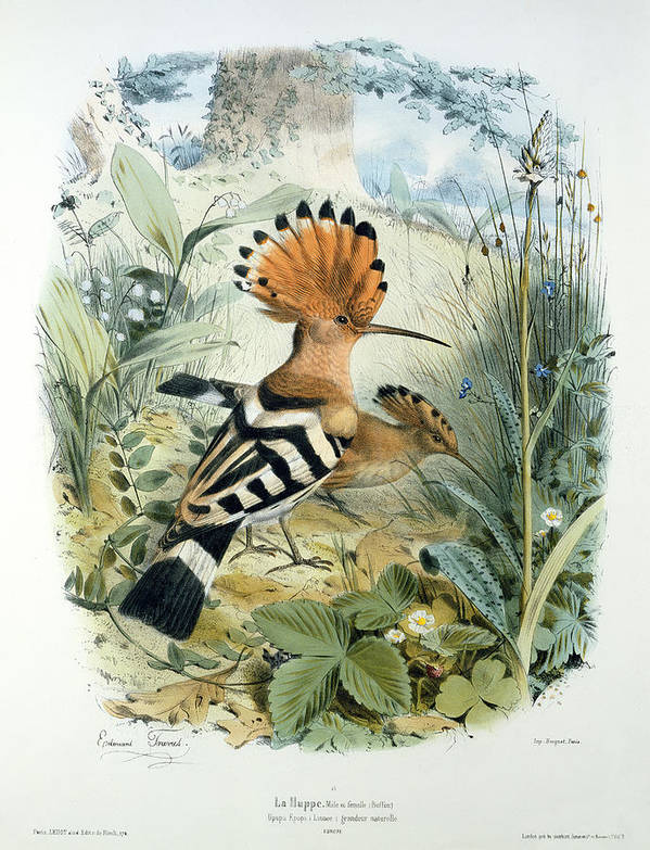 Hoopoe (upupa Epops) (colour Litho) By Edouard Travies (1809-c.1865) Print featuring the painting Hoopoe by Edouard Travies