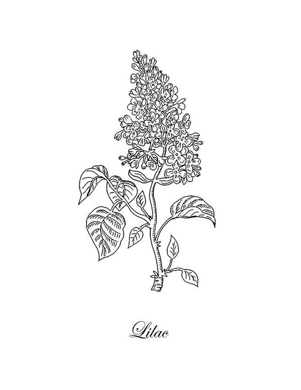 Lilac Flower Botanical Drawing Black And White Art Print By Irina