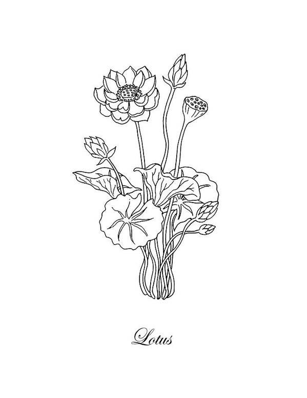 Lotus Flower Botanical Drawing Black And White Art Print By Irina