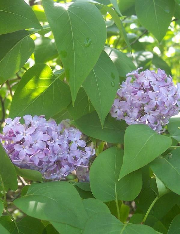 Lavendar Purple Lilacs Flowers Garden Print featuring the photograph Lovely Lilacs 2 by Anna Villarreal Garbis