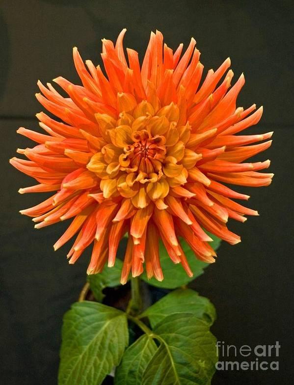 Flower Art Print featuring the photograph Orange Dahlia by Allan Einhorn