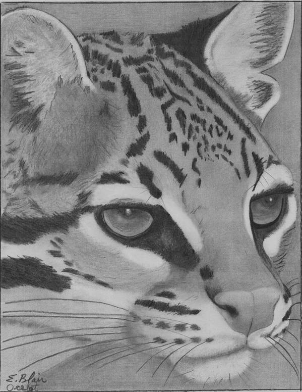 Wildlife Cat Oselot Drawing Blackandwhite Portrait Art Print featuring the drawing Oselot by Eileen Blair