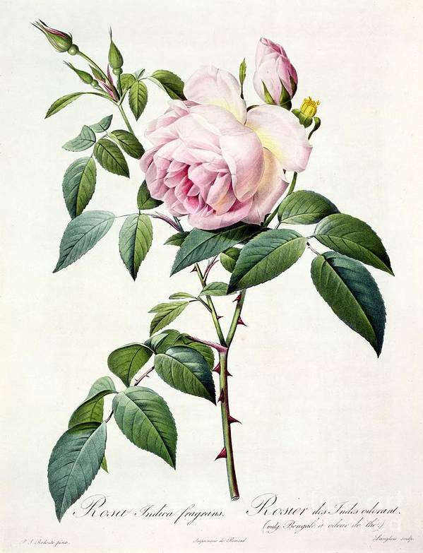 Rosa Art Print featuring the drawing Rosa Indica Fragrans by Pierre Joseph Redoute