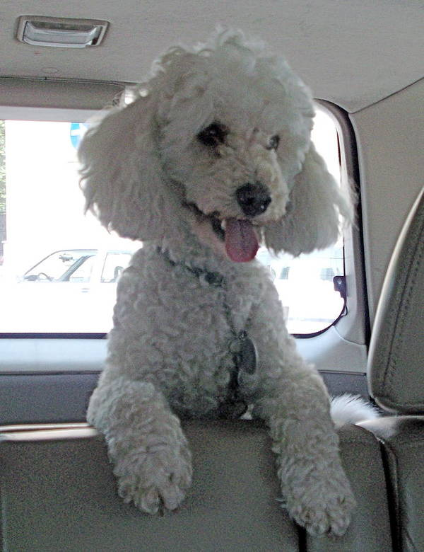 Poodle Art Print featuring the photograph Sit Lilo Sit by Marina Owens