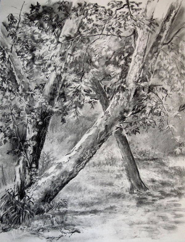 Tree Art Print featuring the drawing Sycamore Tree In Goliad State Park by Karen Boudreaux
