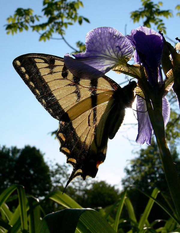 Swallowtail Art Print featuring the photograph Through The Light by Natalie LaRocque