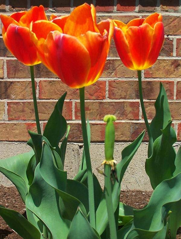 Tulips Art Print featuring the photograph Transcient Love by Vijay Sharon Govender