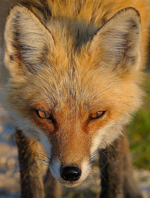 Fox Print featuring the photograph Vixen by William Jobes