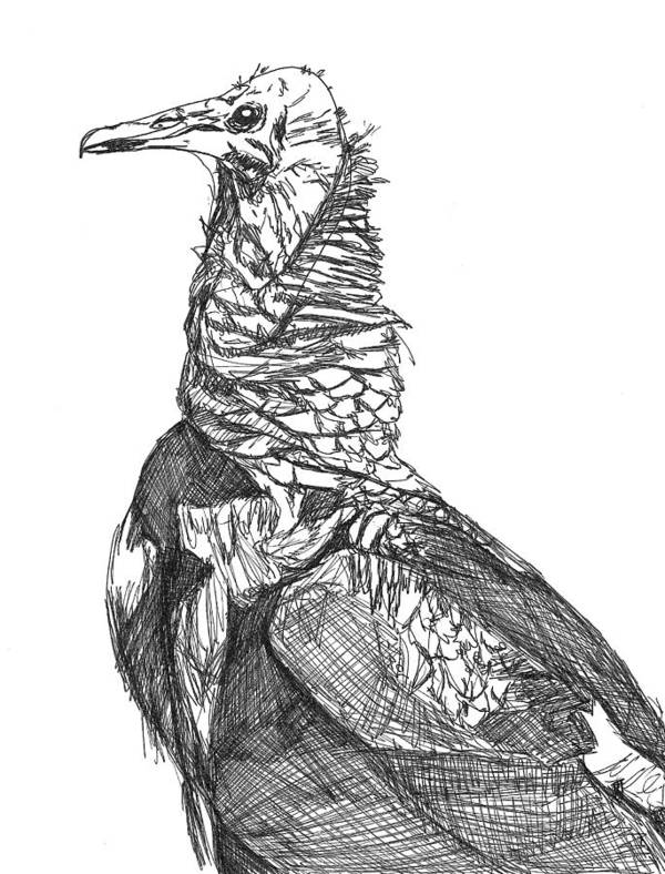 Beauty Art Print featuring the drawing Vulture Sketch by Katie Ree