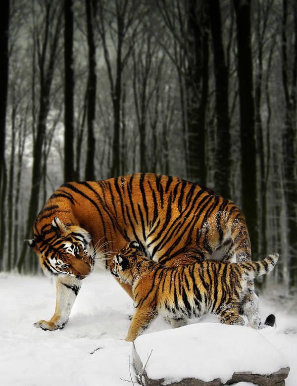 Tiger Art Print featuring the digital art Winter Stroll by Julie L Hoddinott