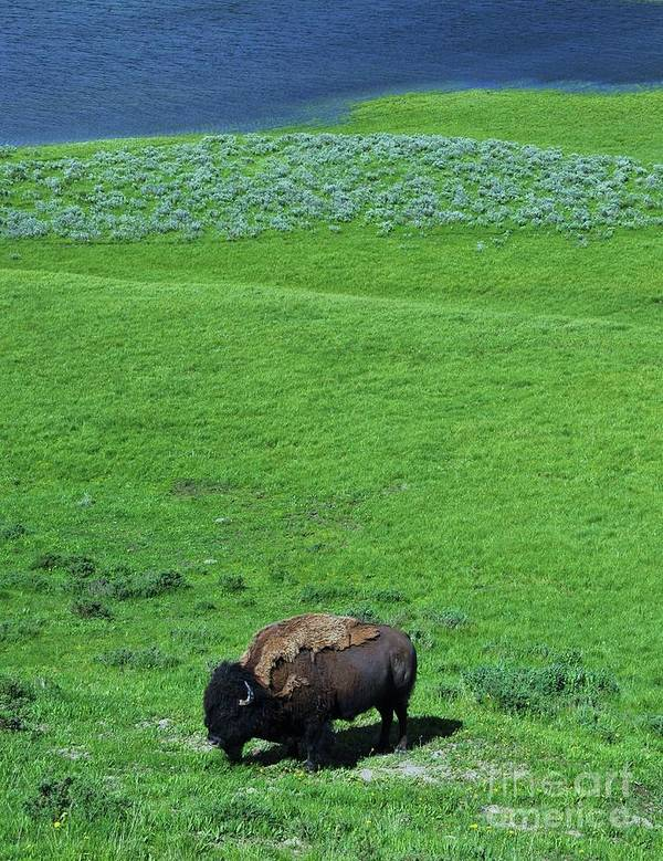 Yellowstone Bison Art Print featuring the photograph Yellowstone Bison by Allen Beatty