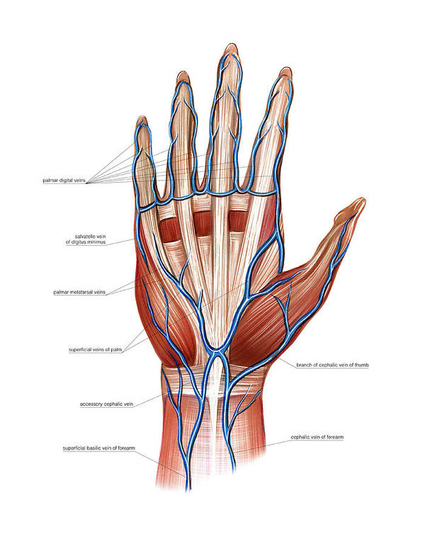 Venous System Of The Hand Art Print by Asklepios Medical Atlas