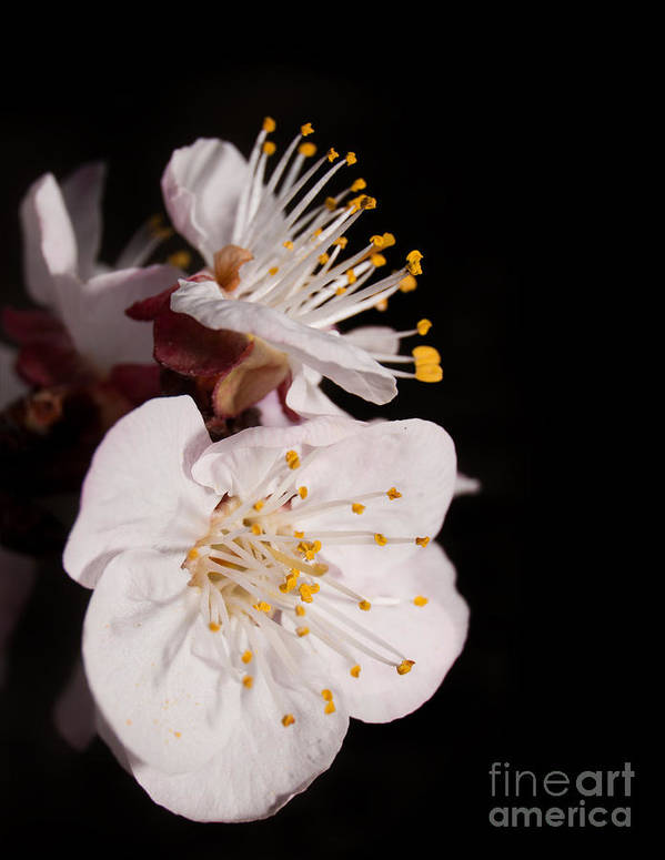 Apricot Art Print featuring the photograph Apricot Blossom by Sari ONeal