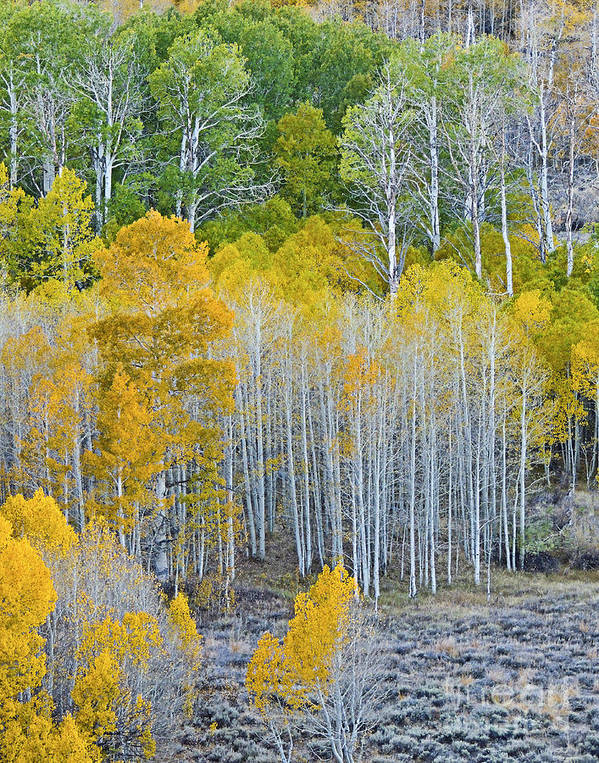 Aspen Stand Art Print featuring the photograph Aspen Stand by L J Oakes
