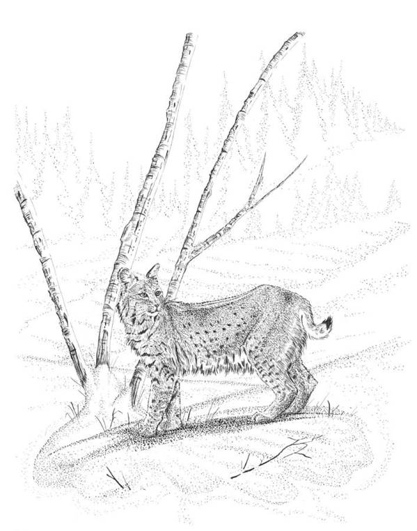 Lynx Drawings Print featuring the drawing Bobcat by Carl Genovese