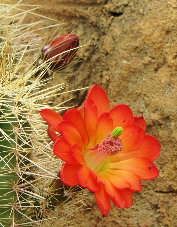 Cactus Southwest Cactus Flower Orange Wildflowers Nature Arizona Art Print featuring the photograph Cactus Flower Bright by Feva Fotos
