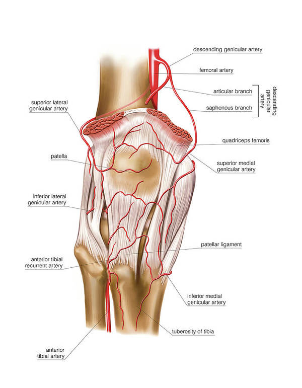 Femoral Artery Art Print By Asklepios Medical Atlas