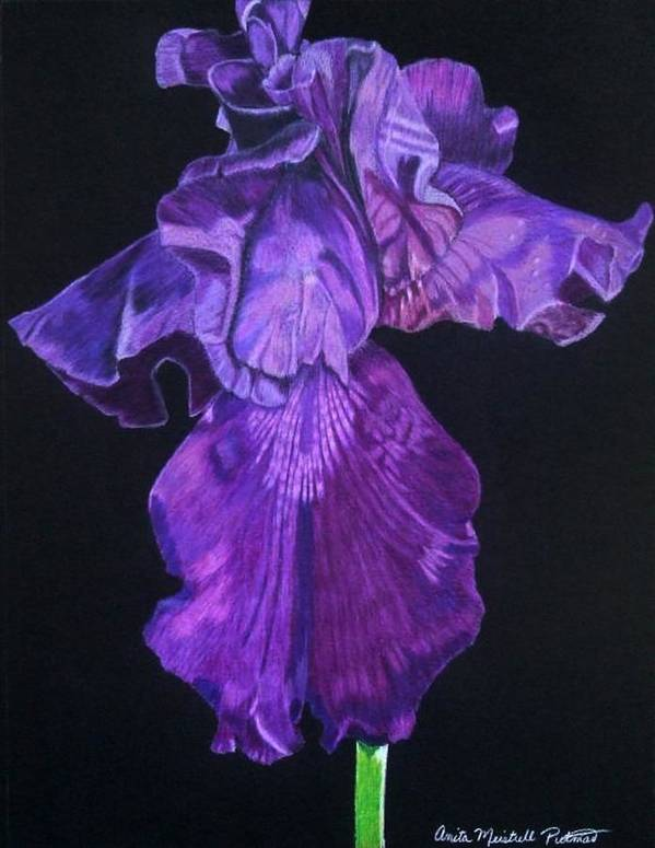 Iris Art Print featuring the drawing Midnight Iris by Anita Putman