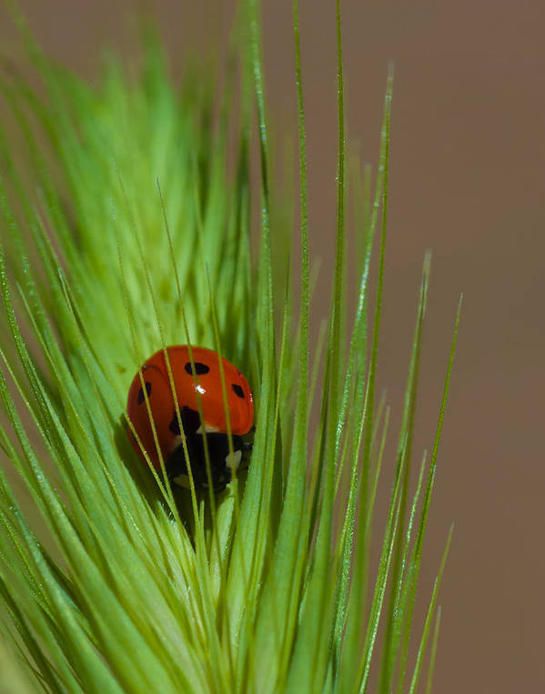 Ladybug Art Print featuring the photograph Out For A Snack by Dennis Reagan