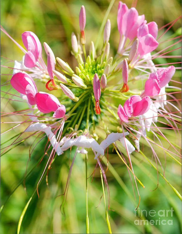 Spider Flower Art Print featuring the photograph Spider Flower by Optical Playground By MP Ray