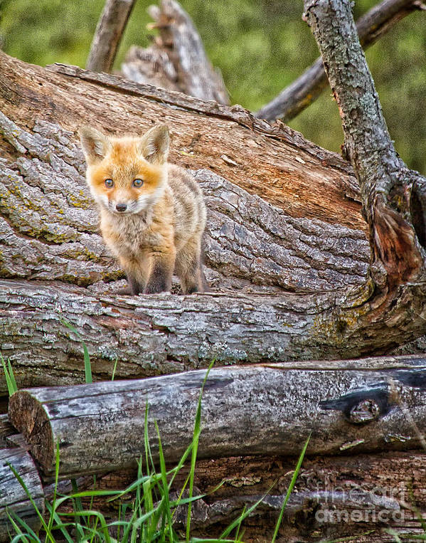 Fox Art Print featuring the photograph The Gaze by Todd Bielby