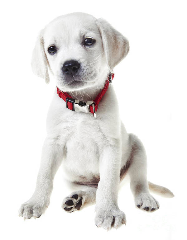 Puppy Art Print featuring the photograph Yellow Lab Puppy by Diane Diederich