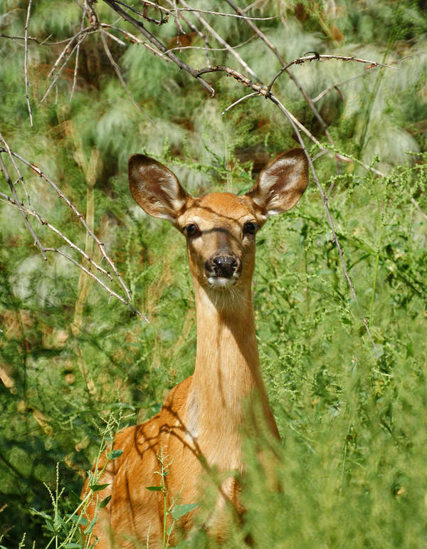 Deer Art Print featuring the photograph Being Watched by Ernie Echols