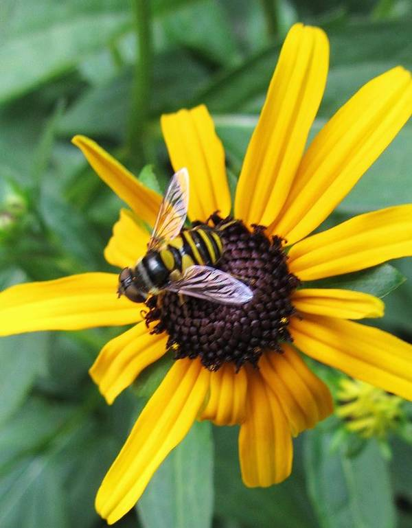 Sunflower And Bee Art Print featuring the photograph Flower-26 by Todd Sherlock