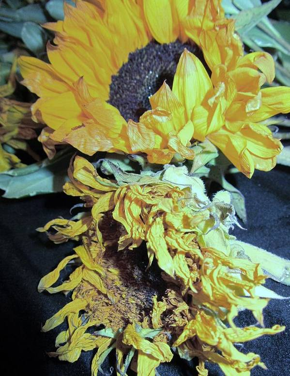 Wilted Sunflowers Art Print featuring the photograph Flower-27 by Todd Sherlock