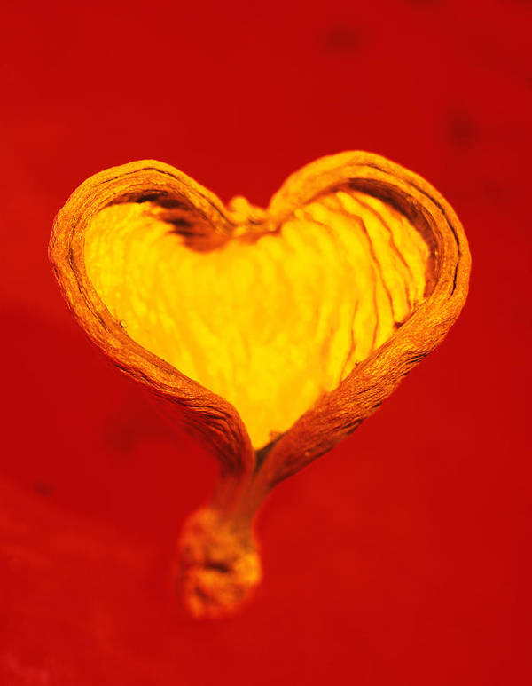 Shell Art Print featuring the photograph Heart-shaped Nutshell by Carlos Dominguez