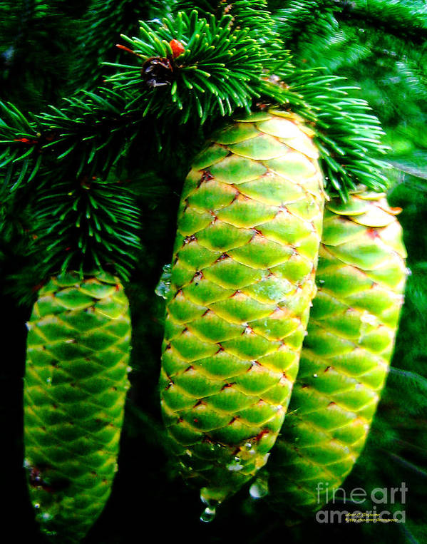 Pinecones Art Print featuring the photograph Sappy Pinecones by Anne Ferguson